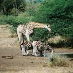giraffe-en-zebras-watergat